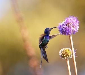 LA similitud de un colibri y la acupuntura